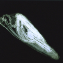<p>X-ray of <em>Ibis Mummy</em> (Brooklyn Museum, 14.651)</p>
