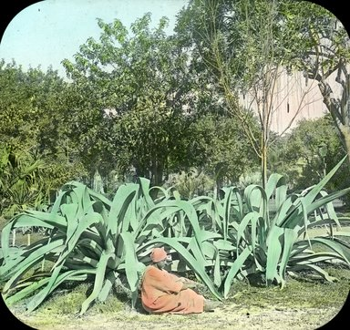 "<em>""Views, Objects: Egypt. General Views; People. View 057: Egypt - Aloe Plant, Esbekiyeh Place, Cairo.""</em>. Lantern slide 3.25x4in, 3.25 x 4 in. Brooklyn Museum, lantern slides. (Photo: T. H. McAllister, New York, S10_08_Egypt_GeneralViews_People057.jpg"