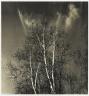 [Untitled] (Birch Trees)