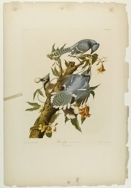 John James  Audubon (American, born Haiti, 1785-1851). <em>Blue Jay</em>, 1861. Chromolithograph Brooklyn Museum, Gift of Seymour R. Husted Jr., 06.339.100 (Photo: Brooklyn Museum, 06.339.100_PS1.jpg)