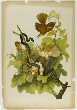 John James  Audubon (American, born Haiti, 1785-1851). <em>Ferruginou's Thrush</em>, 1861. Chromolithograph Brooklyn Museum, Gift of Seymour R. Husted Jr., 06.339.104 (Photo: Brooklyn Museum, 06.339.104_PS1.jpg)