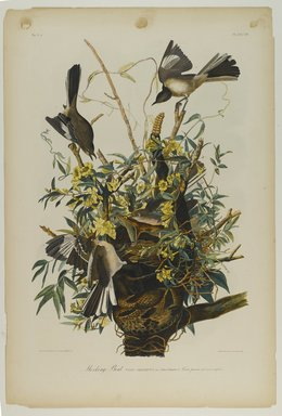 John James  Audubon (American, born Haiti, 1785-1851). <em>Mocking Bird</em>, 1861. Chromolithograph Brooklyn Museum, Gift of Seymour R. Husted Jr., 06.339.105 (Photo: Brooklyn Museum, 06.339.105_PS1.jpg)