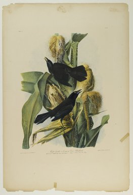 John James  Audubon (American, born Haiti, 1785-1851). <em>Purple Grackle or Common Crow Blackbird</em>, 1861. Chromolithograph Brooklyn Museum, Gift of Seymour R. Husted Jr., 06.339.13 (Photo: Brooklyn Museum, 06.339.13_PS1.jpg)