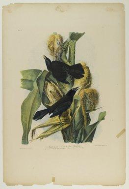 John James  Audubon (American, born Haiti, 1785-1851). <em>Purple Grackle or Common Crow Blackbird</em>, 1861. Chromolithograph Brooklyn Museum, Gift of Seymour R. Husted Jr., 06.339.13 (Photo: Brooklyn Museum, 06.339.13_PS1.jpg)
