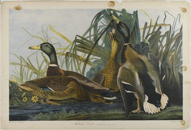 John James  Audubon (American, born Haiti, 1785-1851). <em>Mallard Duck</em>, 1861. Chromolithograph, 27 x 39 3/4 in.  (68.6 x 101.0 cm). Brooklyn Museum, Gift of Seymour R. Husted Jr., 06.339.19 (Photo: Brooklyn Museum, 06.339.19_PS1.jpg)