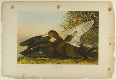 John James  Audubon (American, born Haiti, 1785-1851). <em>Dusky Duck</em>, 1861. Chromolithograph Brooklyn Museum, Gift of Seymour R. Husted Jr., 06.339.1 (Photo: Brooklyn Museum, 06.339.1_PS1.jpg)