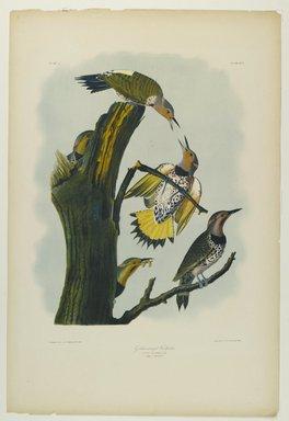 John James  Audubon (American, born Haiti, 1785-1851). <em>Golden-winged Woodpecker</em>, 1861. Chromolithograph Brooklyn Museum, Gift of Seymour R. Husted Jr., 06.339.20 (Photo: Brooklyn Museum, 06.339.20_PS1.jpg)