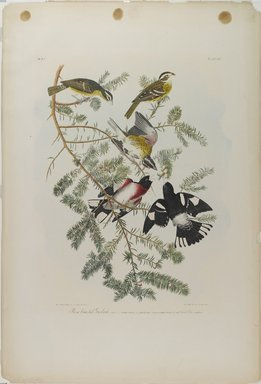 John James  Audubon (American, born Haiti, 1785-1851). <em>Rose-breasted Grosbeak</em>, 1861. Chromolithograph, 40 x 27 1/8 in.  (101.6 x 68.9 cm). Brooklyn Museum, Gift of Seymour R. Husted Jr., 06.339.21 (Photo: Brooklyn Museum, 06.339.21_PS1.jpg)