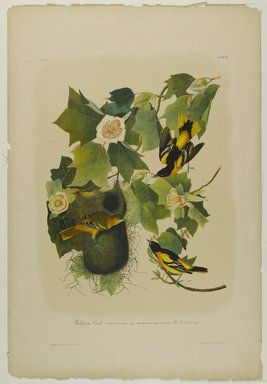 John James  Audubon (American, born Haiti, 1785-1851). <em>Baltimore Oriole</em>, 1861. Chromolithograph Brooklyn Museum, Gift of Seymour R. Husted Jr., 06.339.22 (Photo: Brooklyn Museum, 06.339.22_PS1.jpg)