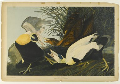 John James  Audubon (American, born Haiti, 1785-1851). <em>Eider Duck</em>, 1861. Chromolithograph Brooklyn Museum, Gift of Seymour R. Husted Jr., 06.339.30 (Photo: Brooklyn Museum, 06.339.30_PS1.jpg)