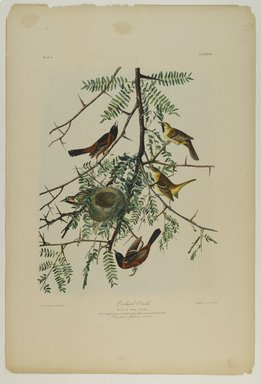 John James  Audubon (American, born Haiti, 1785-1851). <em>Orchard Oriole</em>, 1861. Chromolithograph Brooklyn Museum, Gift of Seymour R. Husted Jr., 06.339.36 (Photo: Brooklyn Museum, 06.339.36_PS1.jpg)