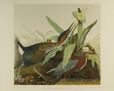 John James  Audubon (American, born Haiti, 1785-1851). <em>Green Heron</em>, 1861. Chromolithograph Brooklyn Museum, Gift of Seymour R. Husted Jr., 06.339.37 (Photo: Brooklyn Museum, 06.339.37_PS1.jpg)