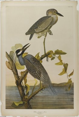 John James  Audubon (American, born Haiti, 1785-1851). <em>Yellow-crowned Heron</em>, 1861. Chromolithograph Brooklyn Museum, Gift of Seymour R. Husted Jr., 06.339.38 (Photo: Brooklyn Museum, 06.339.38_PS1.jpg)