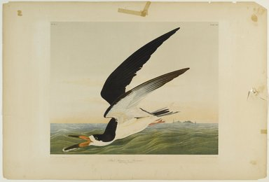 John James  Audubon (American, born Haiti, 1785-1851). <em>Black Skimmer or Shearwater</em>, 1861. Chromolithograph Brooklyn Museum, Gift of Seymour R. Husted Jr., 06.339.41 (Photo: Brooklyn Museum, 06.339.41_PS1.jpg)