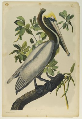 John James  Audubon (American, born Haiti, 1785-1851). <em>Brown Pelican</em>, 1861. Chromolithograph Brooklyn Museum, Gift of Seymour R. Husted Jr., 06.339.42 (Photo: Brooklyn Museum, 06.339.42_PS2.jpg)