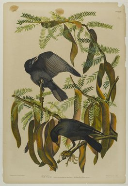 John James  Audubon (American, born Haiti, 1785-1851). <em>Fish Crow</em>, 1861. Chromolithograph Brooklyn Museum, Gift of Seymour R. Husted Jr., 06.339.46 (Photo: Brooklyn Museum, 06.339.46_PS1.jpg)