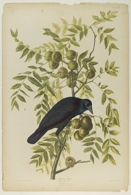 John James  Audubon (American, born Haiti, 1785-1851). <em>American Crow</em>, 1861. Chromolithograph Brooklyn Museum, Gift of Seymour R. Husted Jr., 06.339.47 (Photo: Brooklyn Museum, 06.339.47_PS1.jpg)