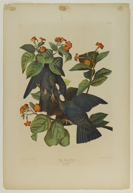 John James  Audubon (American, born Haiti, 1785-1851). <em>White-headed Pigeon</em>, 1861. Chromolithograph Brooklyn Museum, Gift of Seymour R. Husted Jr., 06.339.49 (Photo: Brooklyn Museum, 06.339.49_PS1.jpg)