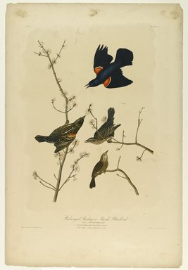 John James  Audubon (American, born Haiti, 1785-1851). <em>Red-winged Starling or Marsh Blackbird</em>, 1861. Chromolithograph Brooklyn Museum, Gift of Seymour R. Husted Jr., 06.339.4a-b (Photo: Brooklyn Museum, 06.339.4a-b_PS1.jpg)