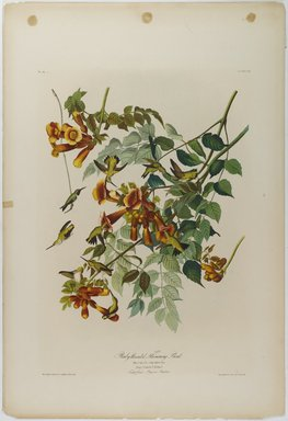John James  Audubon (American, born Haiti, 1785-1851). <em>Ruby-throated Humming Bird</em>, 1861. Chromolithograph, sheet:  40 x 27 1/2 in.  (101.6 x 69.9 cm). Brooklyn Museum, Gift of Seymour R. Husted Jr., 06.339.53 (Photo: Brooklyn Museum, 06.339.53_PS1.jpg)