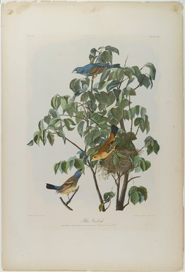 John James  Audubon (American, born Haiti, 1785-1851). <em>Blue Grosbeak</em>, 1861. Lithograph, 29 x 20 in.  (73.7 x 50.8 cm). Brooklyn Museum, Gift of Seymour R. Husted Jr., 06.339.5 (Photo: Brooklyn Museum, 06.339.5_PS1.jpg)