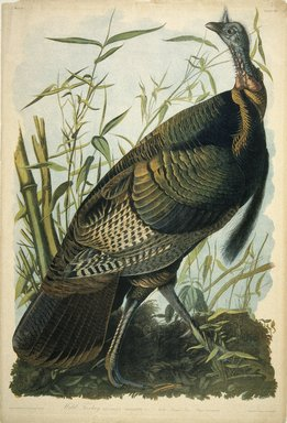 John James  Audubon (American, born Haiti, 1785-1851). <em>Wild Turkey</em>, 1861. Chromolithograph, 40 x 27 in.  (101.6 x 68.6 cm). Brooklyn Museum, Gift of Seymour R. Husted Jr., 06.339.64 (Photo: Brooklyn Museum, 06.339.64_IMLS_SL2.jpg)