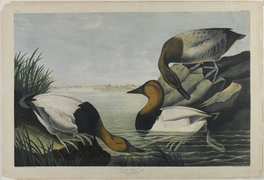 John James  Audubon (American, born Haiti, 1785-1851). <em>Canvas-backed Duck</em>, 1861. Chromolithograph, 27 x 39 3/4 in.  (68.6 x 101.0 cm). Brooklyn Museum, Gift of Seymour R. Husted Jr., 06.339.65 (Photo: Brooklyn Museum, 06.339.65_PS1.jpg)