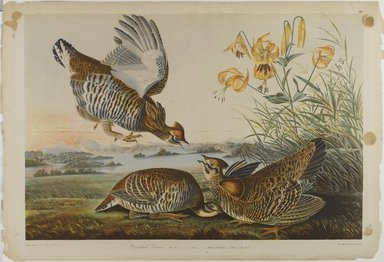 John James  Audubon (American, born Haiti, 1785-1851). <em>Pinnated Grous</em>, 1861. Chromolithograph Brooklyn Museum, Gift of Seymour R. Husted Jr., 06.339.69 (Photo: Brooklyn Museum, 06.339.69_PS1.jpg)