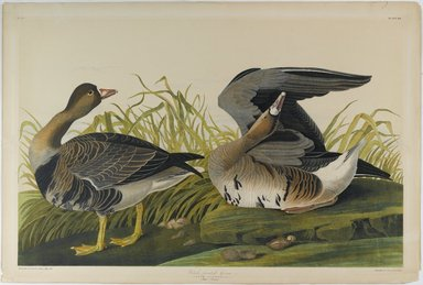 John James  Audubon (American, born Haiti, 1785-1851). <em>White-fronted Goose</em>, 1861. Lithograph Brooklyn Museum, Gift of Seymour R. Husted Jr., 06.339.89 (Photo: Brooklyn Museum, 06.339.89_PS1.jpg)