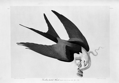 John James  Audubon (American, born Haiti, 1785-1851). <em>Swallow-Tailed Hawk</em>, 1861. Chromolithograph Brooklyn Museum, Gift of Seymour R. Husted Jr., 06.339.93 (Photo: Brooklyn Museum, 06.339.93_acetate_bw.jpg)