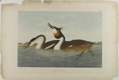 John James  Audubon (American, born Haiti, 1785-1851). <em>Crested Grebe</em>, 1861. Chromolithograph, 27 x 39 1/4 in.  (68.6 x 99.7 cm). Brooklyn Museum, Gift of Seymour R. Husted Jr., 06.339.96 (Photo: Brooklyn Museum, 06.339.96_PS1.jpg)