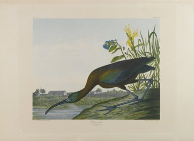 John James  Audubon (American, born Haiti, 1785-1851). <em>Glossy Ibis</em>, 1861. Chromolithograph, sheet:  27 x 39 3/4 in.  (68.6 x 101.0 cm);. Brooklyn Museum, Gift of Seymour R. Husted Jr., 06.339.99 (Photo: Brooklyn Museum, 06.339.99_PS1.jpg)