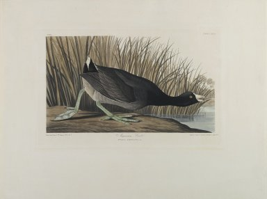 John James  Audubon (American, born Haiti, 1785-1851). <em>American Coot</em>, 1835. Hand colored engraving and aquatint on wove paper, 21 1/2 x 28 1/4 in. Brooklyn Museum, Bequest of Mrs. Carl L. Selden, 1996.157.1 (Photo: Brooklyn Museum, 1996.157.1_PS1.jpg)