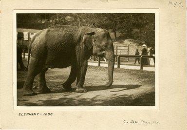 George Bradford Brainerd (American, 1845-1887). <em>Elephant, Central Park, New York</em>, ca. 1872-1887. Collodion silver glass wet plate negative Brooklyn Museum, Brooklyn Museum/Brooklyn Public Library, Brooklyn Collection, 1996.164.2-1688 (Photo: Brooklyn Museum, 1996.164.2-1688_print.jpg)
