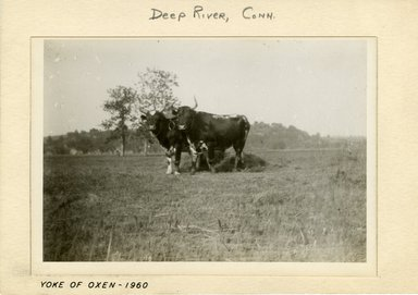 George Bradford Brainerd (American, 1845-1887). <em>Yoked Cattle on Meadow, Deep River, Connecticut</em>, ca. 1885. Dry negative plate Brooklyn Museum, Brooklyn Museum/Brooklyn Public Library, Brooklyn Collection, 1996.164.2-1960 (Photo: Brooklyn Museum, 1996.164.2-1960_print.jpg)