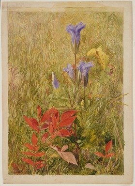 John Henry Hill (American, 1839-1922). <em>Fringed Gentians</em>, ca. 1867. Watercolor with graphite pencil underdrawing on paper, 10 1/8 x 7 1/8 in. (25.7 x 18.1 cm). Brooklyn Museum, Purchased with funds given by Mr. and Mrs. Leonard L. Milberg, 1996.90.1 (Photo: , 1996.90.1_SL3.jpg)