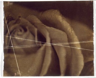 Doug Starn and Mike Starn (American, born 1961). <em>Rose Detail</em>, 1987. Toned silver print (2001.126a), 19 7/8 x 23 3/4 in. (50.5 x 60.3 cm). Brooklyn Museum, Gift of Arthur and Jean Cohen in honor of Ben and Yetta Cohen, 2001.126a-b. © artist or artist's estate (Photo: Brooklyn Museum, 2001.126a-b_slide_SL3.jpg)