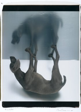 William Wegman (American, born 1943). <em>The Upside of Down</em>, 2005. Dye diffusion photograph (Polaroid), Mounted: 34 1/2 x 26 1/2 in. (87.6 x 67.3 cm). Brooklyn Museum, Gift of the artist, 2006.15. © artist or artist's estate (Photo: Brooklyn Museum, 2006.15_PS1.jpg)