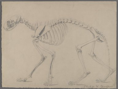 Philip H. Wolfrom (American, 1870-1904). <em>Skeleton of a Cat</em>, n.d. Graphite on paper, Sheet: 9 13/16 x 12 15/16 in. (24.9 x 32.9 cm). Brooklyn Museum, Gift of Anna Wolfrom Dove, 27.808 (Photo: Brooklyn Museum, 27.808_PS4.jpg)
