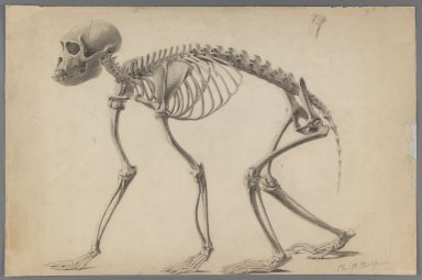 Philip H. Wolfrom (American, 1870-1904). <em>Skeleton of a Primate</em>, n.d. Graphite on paper, Sheet: 12 15/16 x 19 7/16 in. (32.9 x 49.4 cm). Brooklyn Museum, Gift of Anna Wolfrom Dove, 27.809 (Photo: Brooklyn Museum, 27.809_IMLS_PS3.jpg)