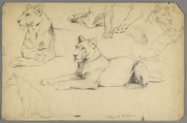 Philip H. Wolfrom (American, 1870-1904). <em>Studies of a Lioness</em>, n.d. Graphite and charcoal on paper, Sheet: 12 7/8 x 19 3/4 in. (32.7 x 50.2 cm). Brooklyn Museum, Gift of Anna Wolfrom Dove, 27.815 (Photo: Brooklyn Museum, 27.815_PS6.jpg)
