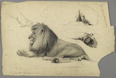 Philip H. Wolfrom (American, 1870-1904). <em>Studies of a Lion</em>, n.d. Graphite and charcoal on paper, Sheet: 12 7/16 x 18 3/4 in. (31.6 x 47.6 cm). Brooklyn Museum, Gift of Anna Wolfrom Dove, 27.816 (Photo: Brooklyn Museum, 27.816_PS6.jpg)