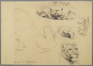 Philip H. Wolfrom (American, 1870-1904). <em>Studies of Lion</em>, n.d. Graphite on paper, Sheet: 9 1/16 x 12 7/8 in. (23 x 32.7 cm). Brooklyn Museum, Gift of Anna Wolfrom Dove, 27.829 (Photo: Brooklyn Museum, 27.829_PS6.jpg)