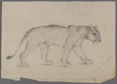 Philip H. Wolfrom (American, 1870-1904). <em>Striding Lioness</em>, n.d. Graphite on paper, Sheet: 8 5/8 x 11 15/16 in. (21.9 x 30.3 cm). Brooklyn Museum, Gift of Anna Wolfrom Dove, 27.833 (Photo: Brooklyn Museum, 27.833_PS4.jpg)