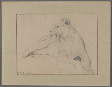 Philip H. Wolfrom (American, 1870-1904). <em>Seated Lioness (recto) and Head of Sleeping Lion (verso)</em>, n.d. Graphite on paper affixed to window mat, Sheet: 5 1/2 x 8 15/16 in. (14 x 22.7 cm). Brooklyn Museum, Gift of Anna Wolfrom Dove, 27.854 (Photo: Brooklyn Museum, 27.854_recto_PS4.jpg)