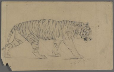 Philip H. Wolfrom (American, 1870-1904). <em>Striding Tiger</em>, n.d. Graphite on paper, Sheet: 5 5/8 x 9 in. (14.3 x 22.9 cm). Brooklyn Museum, Gift of Anna Wolfrom Dove, 27.855 (Photo: Brooklyn Museum, 27.855.jpg)