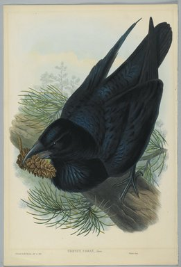 John Gould (British, 1804-1881). <em>Corvus Corax - Raven</em>. Lithograph on wove paper, Sheet: 21 1/4 x 14 1/2 in. (54 x 36.8 cm). Brooklyn Museum, Gift of the Estate of Emily Winthrop Miles, 64.98.100 (Photo: Brooklyn Museum, 64.98.100_PS2.jpg)