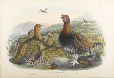 John Gould (British, 1804-1881). <em>Logopus Scoticus - Red Grouse</em>. Lithograph on wove paper, Sheet: 21 1/4 x 14 1/2 in. (54 x 36.8 cm). Brooklyn Museum, Gift of the Estate of Emily Winthrop Miles, 64.98.101 (Photo: Brooklyn Museum, 64.98.101_PS9.jpg)