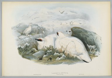John Gould (British, 1804-1881). <em>Lagopus Mutus, Winter Plumage: Common Ptarmigan</em>. Lithograph on wove paper, Sheet: 21 1/4 x 14 1/2 in. (54 x 36.8 cm). Brooklyn Museum, Gift of the Estate of Emily Winthrop Miles, 64.98.102 (Photo: Brooklyn Museum, 64.98.102_PS2.jpg)