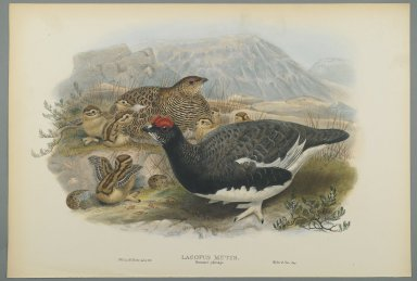 John Gould (British, 1804-1881). <em>Lagopus Mutus, Summer Plumage: Common Ptarmigan</em>. Lithograph on wove paper, Sheet: 21 1/4 x 14 1/2 in. (54 x 36.8 cm). Brooklyn Museum, Gift of the Estate of Emily Winthrop Miles, 64.98.103 (Photo: Brooklyn Museum, 64.98.103_PS2.jpg)